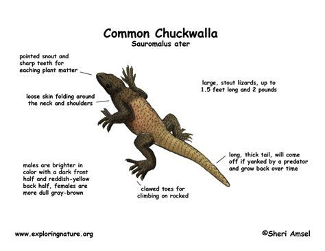 Chuckwalla (Common)