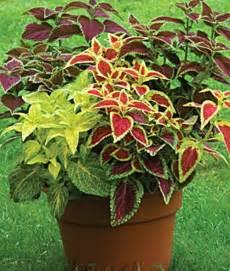 Coleus Planter by Coleus Rainbow Mixed Colors Planter Ideas