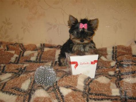 yorkie vaccinations mini yorkies with documents pedigree vaccinations buy on www bizator