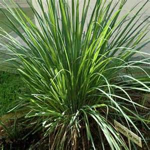 lemon grass cymbopogon citratus emerald coast growers