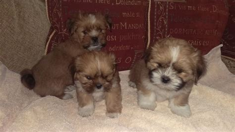 lhasa apso puppies for sale lhasa apso puppies for sale spennymoor county durham pets4homes