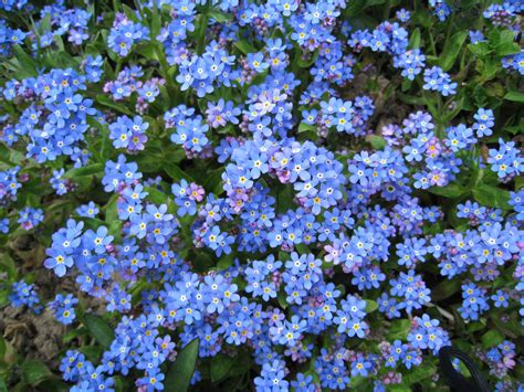Fleurs Bleues Vivaces by Fleurs Bleues De Printemps Vivaces
