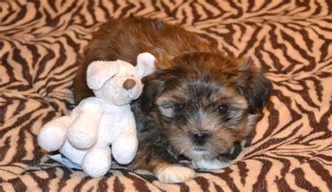 shih tzu yorkie mix grown learn about the shih tzu yorkie mix aka shorkie