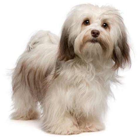 havanese information havanese breed 187 information pictures more
