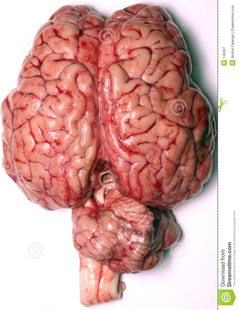the confabulating mind how the brain creates reality books reales gehirn lizenzfreie stockfotografie bild 146097