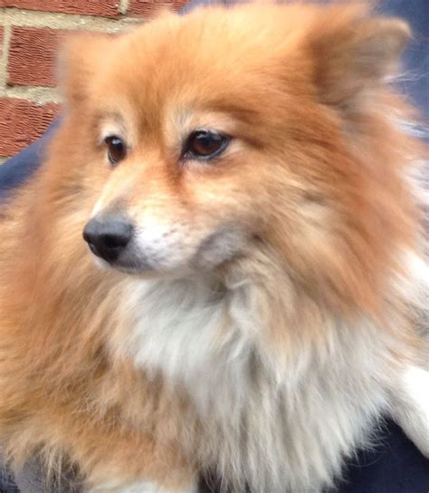 pomeranian puppies for sale in norfolk beautiful pomeranian for rehoming norwich norfolk pets4homes