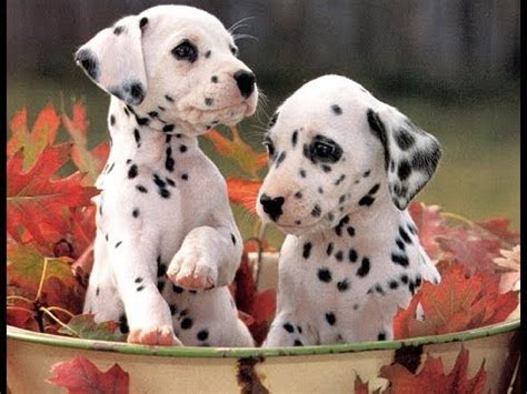 dalmatian puppies nc dalmatian puppies dogs for sale in carolina nc greensboro