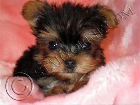 free tiny teacup yorkies re tiny micro teacup yorkies