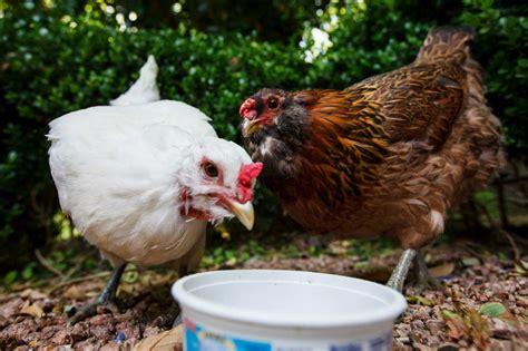 backyard chicken bill sparks foghorn leghorn impression in