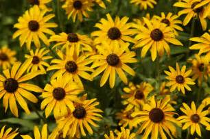 bailey s buddy what s better than one black eyed susan