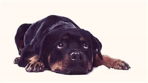 can tapeworms be from to tapeworms in dogs how fleas can be to blame petcarerx