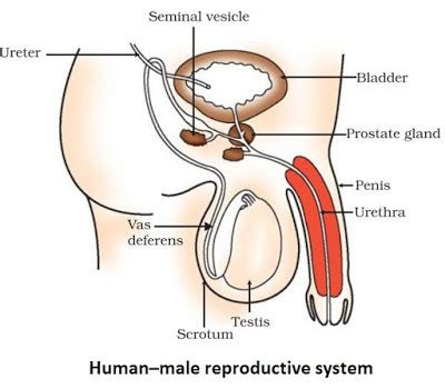 How To Draw Reproductive System Step By Step