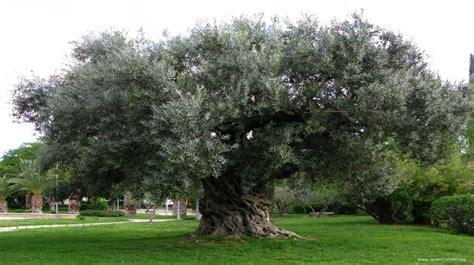 olive tree wallpaper olive oil world nuproas se