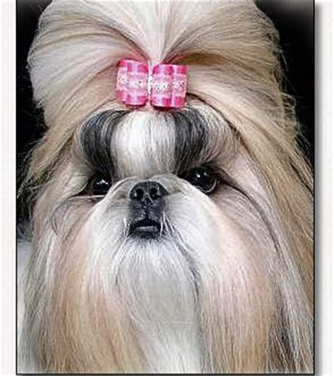 shih tzu hair accessories baby bows by doggie bow ties breeds picture