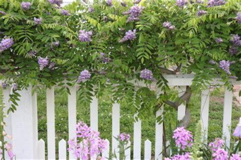 sichtschutz im garten pflanzen so geht s mit kletterpflanzen
