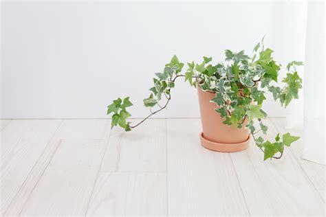 pflege efeu efeu als zimmerpflanze 187 wie giftig ist er