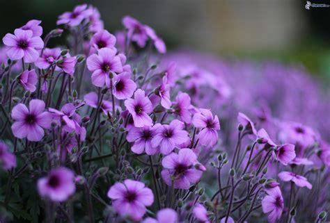piante ricanti con fiori viola fiori viola
