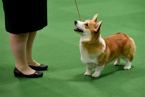 westminster kennel club show 140th westminster show begins