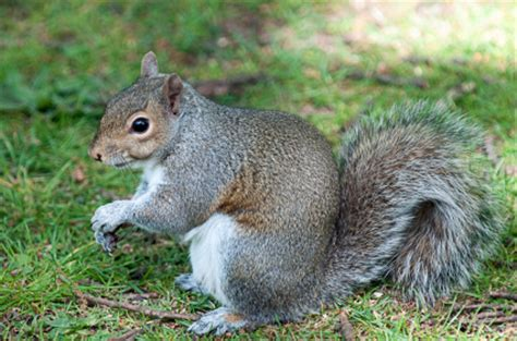 squirrel removal atlanta pest control strategic industries