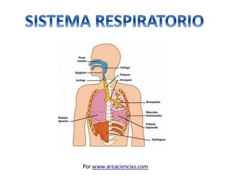 imagenes del sistema respiratorio ingles sistema respiratorio