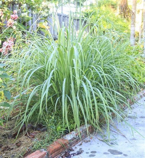6 fragrant herbs plants that repel flies