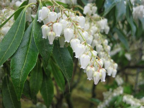 Flowering House Plants Identification pieris japonica andromeda lily of the valley shrub