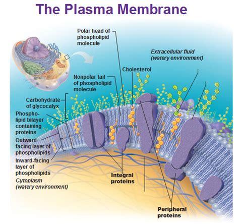 plasma membrane schooling plasma membrane science