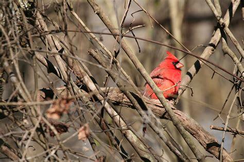 northern cardinal cardinalis cardinalis natureworks