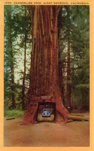 Chandelier Tree Redwood National Park Vintage Redwoods Vacation Photos Wearekoalas
