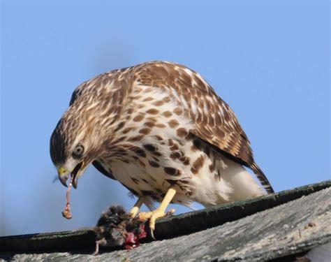 43 best images about hawks on pinterest cooper s hawk