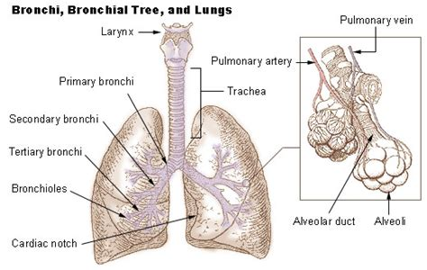 sections of the lungs seer training bronchi bronchial tree lungs