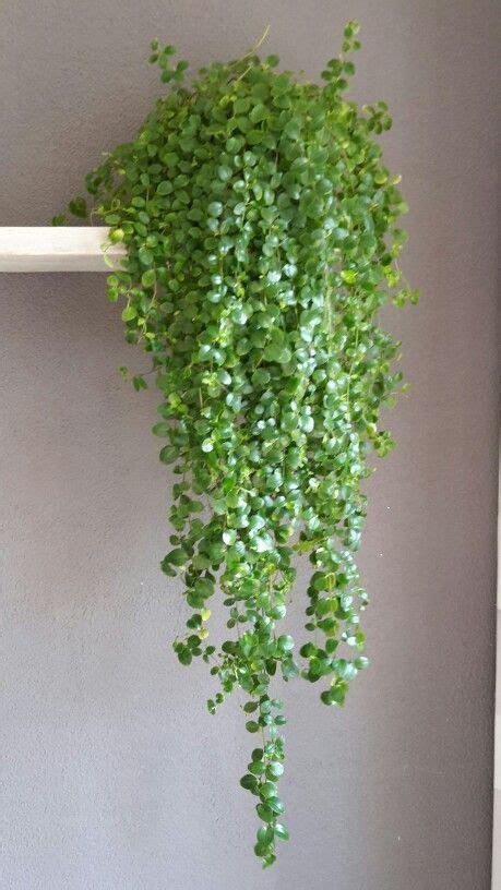 Hangende Planten Binnen by 25 Beste Idee 235 N Binnen Vetplanten Op