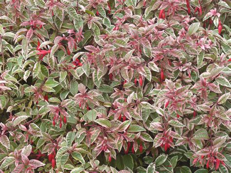 variegated shrub with pink flowers variegated fuchsia variegated leafed fuchsia plants add