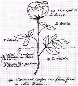comment couper les fleurs fan 233 es de vos rosiers