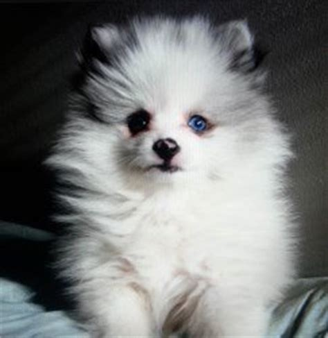 what colors do pomeranians come in pomeranian breeders personally recommended