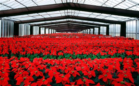 wallpaper of green house poinsettia flowers cultivation in greenhouse full hd