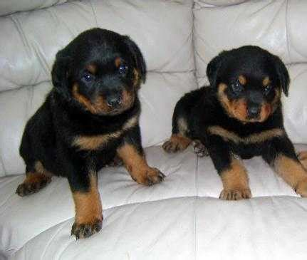 bred rottweilers rottweilers page 3 for sale ads free classifieds