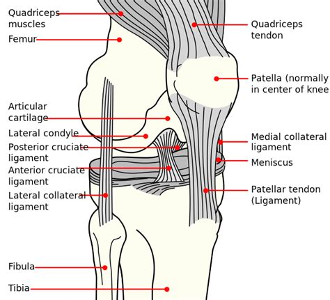 knee tendon diagram injured through knee pieciak