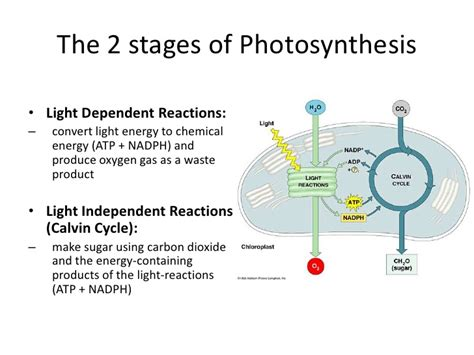 yung light dependent vs light independent reactions