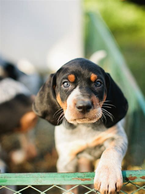 blue tick hound puppy blue tick hound puppy animals
