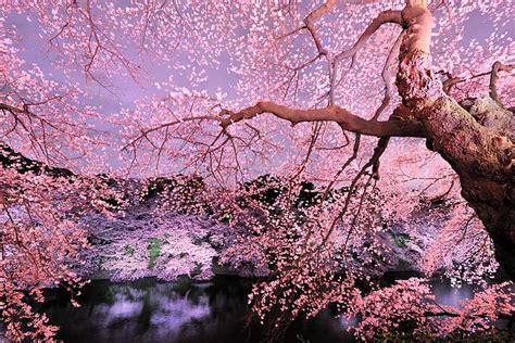 immagini fiori di ciliegio come fiori di ciliegio