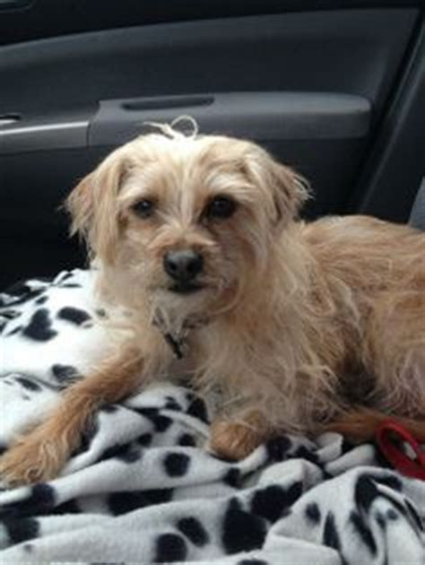 border terrier yorkie mix adopted feather schnauzer cairn terrier mix minneapolis adoptable dogs