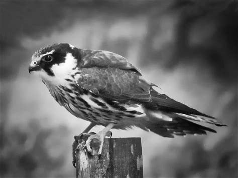 black and white bird photography www pixshark com