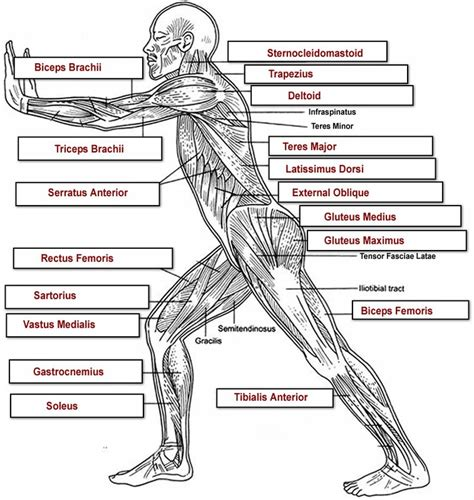 diagram of muscular system mechanics lots of information about the muscular