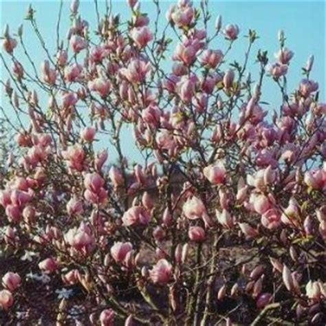 alberi con fiori rosa magnolie