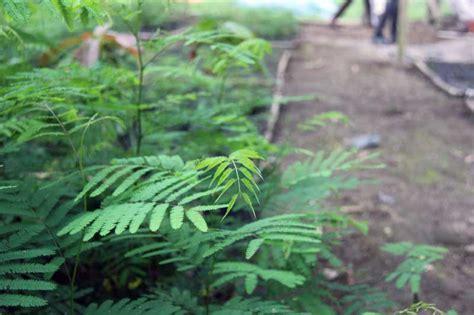 lamtoro pohon pelindung bagi tanaman kopi   bisa majalah otten coffee