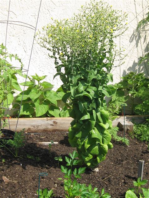 saving lettuce seeds backyard fl gardening