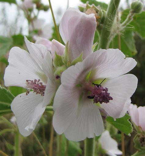 althea plant althaea plant