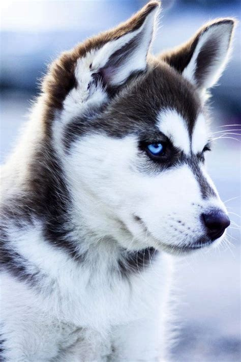 7 Facts On Huskies by 15 Types Of Huskies That Looks Like A Wolf