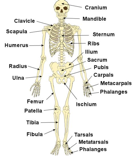 simple bone diagram science inspiration the human skeleton system
